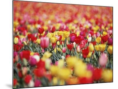 Colorful Tulips in Meadow-Craig Tuttle-Mounted Photographic Print
