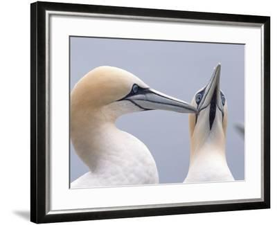 Two Northern Gannets-Niall Benvie-Framed Photographic Print