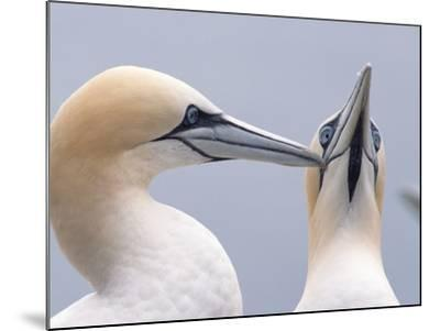 Two Northern Gannets-Niall Benvie-Mounted Photographic Print