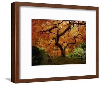 Maple Tree in Autumn-John McAnulty-Framed Photographic Print