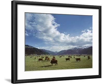 Cattle Grazing on Farmland--Framed Photographic Print