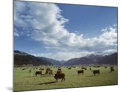 Cattle Grazing on Farmland--Mounted Photographic Print