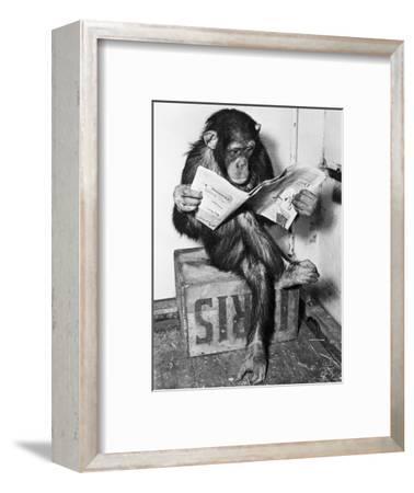 Chimpanzee Reading Newspaper-Bettmann-Framed Photographic Print