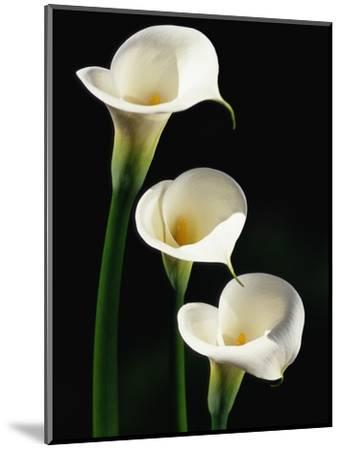 Three White Calla Lilies-Darrell Gulin-Mounted Photographic Print