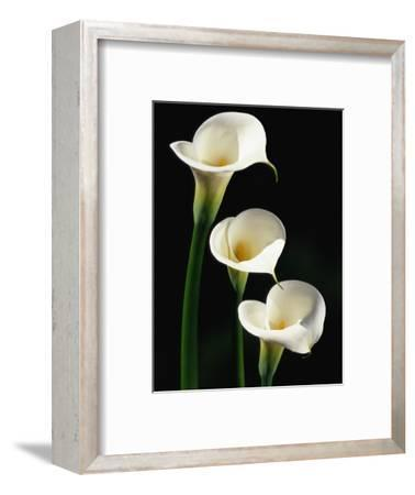 Three White Calla Lilies-Darrell Gulin-Framed Photographic Print