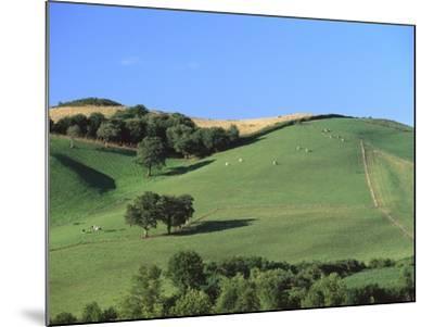 Cattle Grazing on Hillside-Owen Franken-Mounted Photographic Print