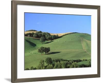 Cattle Grazing on Hillside-Owen Franken-Framed Photographic Print