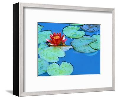 Lily Pads and Flower Blossom-Cindy Kassab-Framed Photographic Print