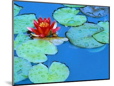 Lily Pads and Flower Blossom-Cindy Kassab-Mounted Photographic Print