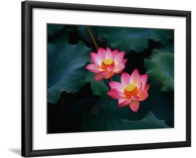 Lotus Flowers-Keren Su-Framed Photographic Print