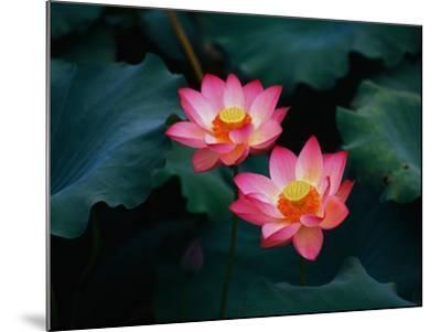 Lotus Flowers-Keren Su-Mounted Photographic Print