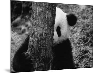 Panda Behind a Tree-Keren Su-Mounted Photographic Print