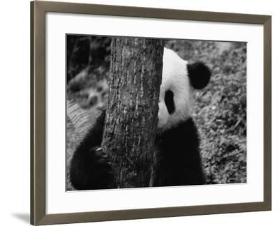 Panda Behind a Tree-Keren Su-Framed Photographic Print