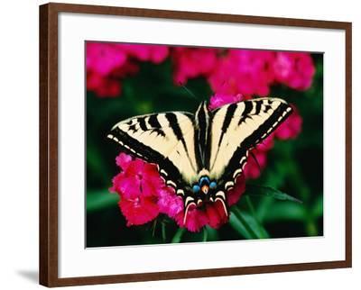 Western Tiger Swallowtail Butterfly-Darrell Gulin-Framed Photographic Print