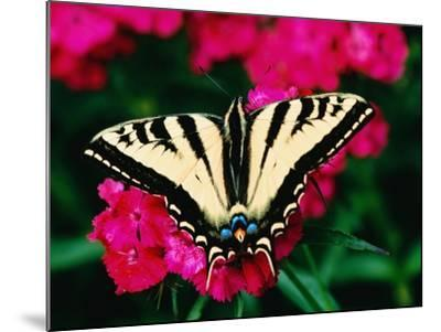 Western Tiger Swallowtail Butterfly-Darrell Gulin-Mounted Photographic Print