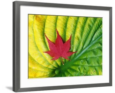 Japanese Maple Leaf on a Hosta Leaf-Darrell Gulin-Framed Photographic Print
