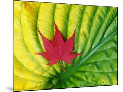 Japanese Maple Leaf on a Hosta Leaf-Darrell Gulin-Mounted Photographic Print