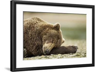 Sleeping Brown Bear, Katmai National Park, Alaska-Paul Souders-Framed Photographic Print