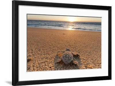 Olive Ridley Turtle Hatchling, Baja, Mexico-Paul Souders-Framed Photographic Print
