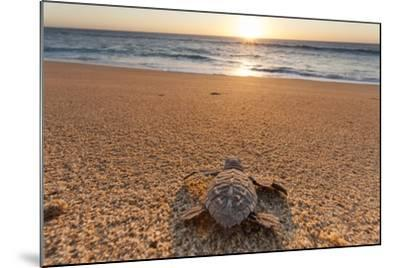 Olive Ridley Turtle Hatchling, Baja, Mexico-Paul Souders-Mounted Photographic Print