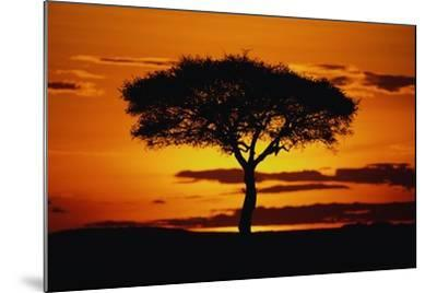 Silhouetted Camelthorn Tree at Sunset-Paul Souders-Mounted Photographic Print