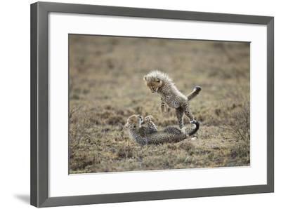 Cheetah Cubs Playing at Ngorongoro Conservation Area, Tanzania-Paul Souders-Framed Photographic Print