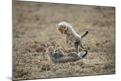 Cheetah Cubs Playing at Ngorongoro Conservation Area, Tanzania-Paul Souders-Mounted Photographic Print
