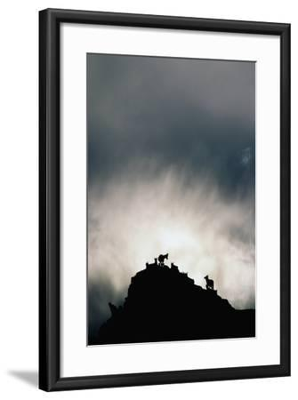 Dall's Sheep on Cliff at Sunset-Paul Souders-Framed Photographic Print