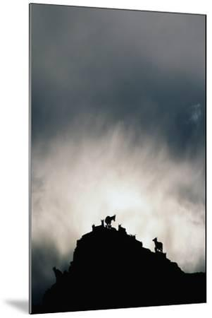 Dall's Sheep on Cliff at Sunset-Paul Souders-Mounted Photographic Print