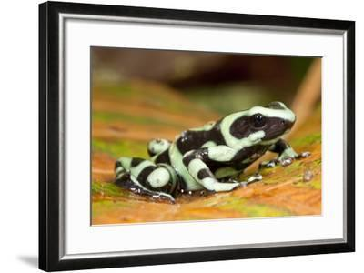 Poison Dart Frog, Costa Rica-Paul Souders-Framed Photographic Print