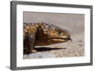 Shingle-Back Skink-Paul Souders-Framed Photographic Print