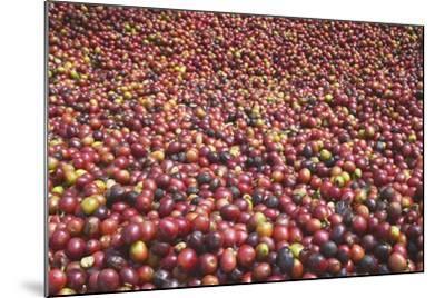Coffee Cherries-Paul Souders-Mounted Photographic Print