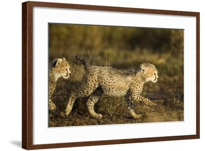 Playing Cheetah Cubs-Paul Souders-Framed Photographic Print