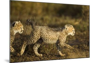 Playing Cheetah Cubs-Paul Souders-Mounted Photographic Print