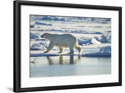 Polar Bear, Svalbard, Norway-Paul Souders-Framed Photographic Print