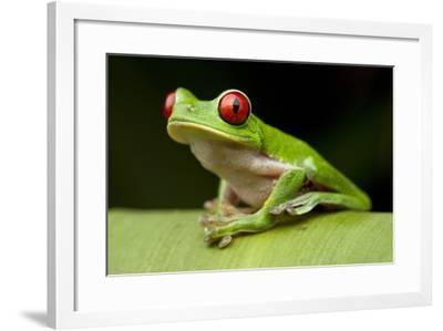 Red Eyed Tree Frog, Costa Rica-Paul Souders-Framed Photographic Print