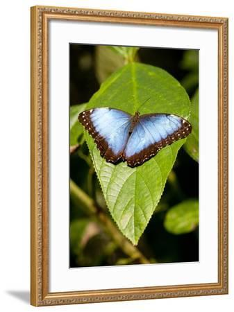 Blue Morpho Butterfly, Costa Rica-Paul Souders-Framed Photographic Print