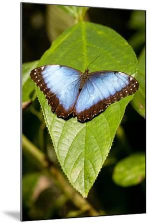 Blue Morpho Butterfly, Costa Rica-Paul Souders-Mounted Photographic Print