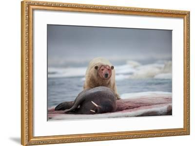 Polar Bear Feeding on Walrus, Hudson Bay, Nunavut, Canada-Paul Souders-Framed Photographic Print