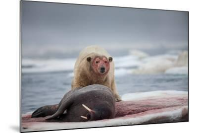 Polar Bear Feeding on Walrus, Hudson Bay, Nunavut, Canada-Paul Souders-Mounted Photographic Print