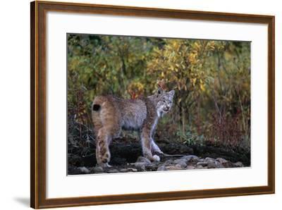 Lynx Near Toklat River in Alaska-Paul Souders-Framed Photographic Print