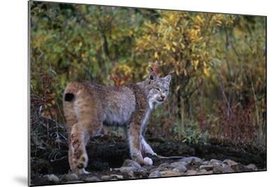Lynx Near Toklat River in Alaska-Paul Souders-Mounted Photographic Print