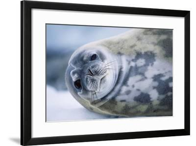 Weddell Seal-Paul Souders-Framed Photographic Print