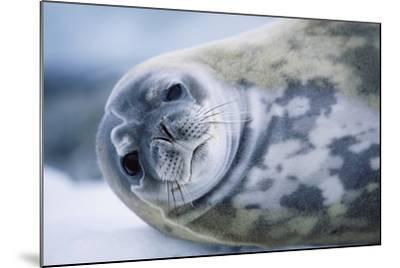 Weddell Seal-Paul Souders-Mounted Photographic Print