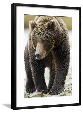 Brown Bear, Katmai National Park, Alaska--Framed Photographic Print