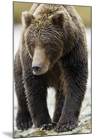 Brown Bear, Katmai National Park, Alaska--Mounted Photographic Print