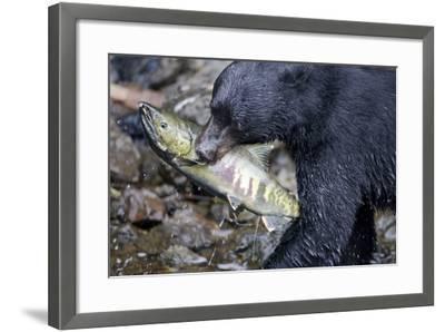 Black Bear and Chum Salmon in Alaska--Framed Photographic Print