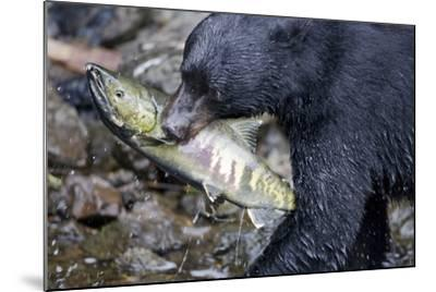 Black Bear and Chum Salmon in Alaska--Mounted Photographic Print