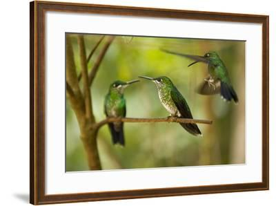 Hummingbirds, Costa Rica--Framed Photographic Print