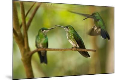 Hummingbirds, Costa Rica--Mounted Photographic Print